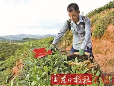 寿宁县竹管垅乡大力推广机械化采茶