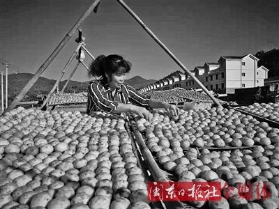 福安梧溪村柿子喜获丰收