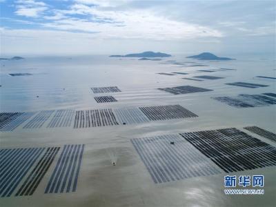 福建霞浦:海上田园的丰收季