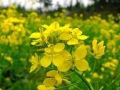 农业部新批准进口5种农业转基因生物,来自孟山都、先正达等