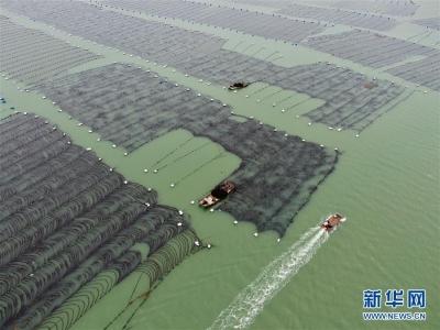 看点!一组照片带你欣赏霞浦海带收获季的盛况