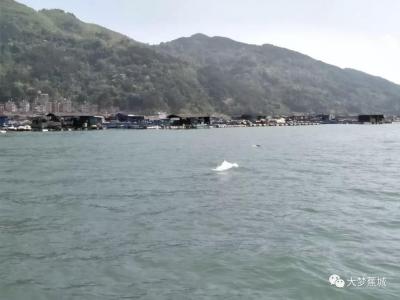 蕉城海域发现中华白海豚