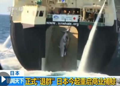 """日本退出国际捕鲸委员会 日媒:这一决定""""极不寻常"""""""