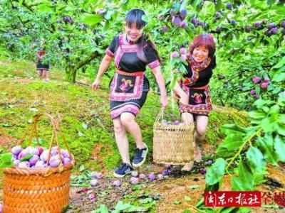 古田县举办第四届芙蓉李丰收节