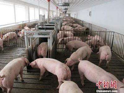 """9月1日起运输仔猪及冷鲜猪肉恢复执行""""绿色通道""""政策"""