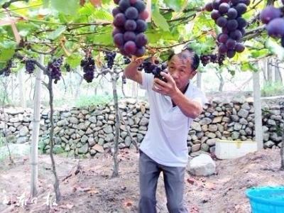 福安:葡萄成为乡村致富主导产业