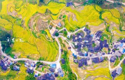 丰收时节,福安白云山周边的金色稻田美如画