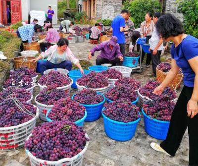 南国最美葡萄小镇:国庆丰收忙