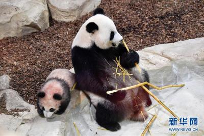 法媒:马克龙访华除了出席进博会,还想留住两只租借的大熊猫