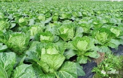 蕉城:百万专项资金扶持蔬菜新建基地建设