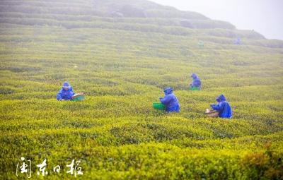 """福鼎佳阳打造""""绿色山地农业带""""助农增收"""