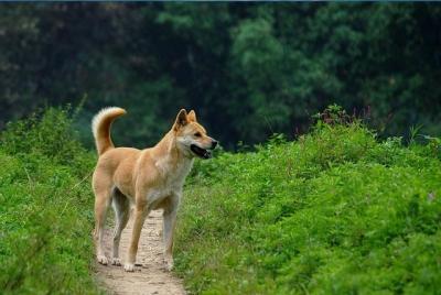 中华田园犬被列入城市禁养名录?你怎么看?