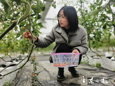 福鼎叠石樱桃番茄开园采摘