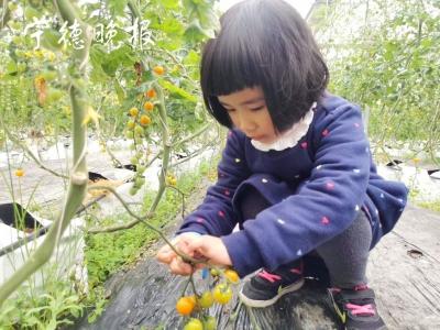 福鼎叠石果蔬成熟正旺   樱桃番茄采摘人气爆棚