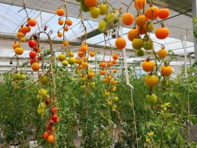 福鼎叠石:樱桃番茄采摘人气旺