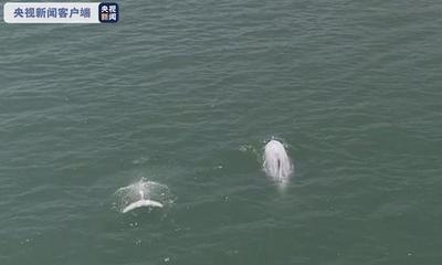央视新闻|福建霞浦县海域整治持续推进 沿海频繁出现白海豚