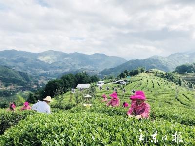 柘荣富溪:发展茶产业 切实助增收