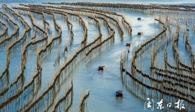 霞浦长春:海带丰收村民增收