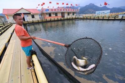 新华社 大黄鱼重回中国人餐桌的传奇