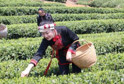 央媒省媒说丨福鼎白茶:一片叶子带来的小康生活
