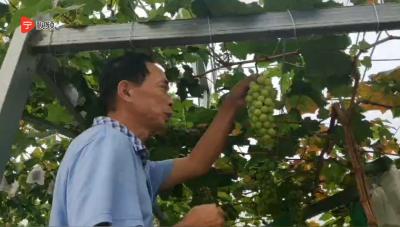 """【宁视频】网红葡萄""""阳光玫瑰"""",居然挂在福安象环的葡萄园里……"""