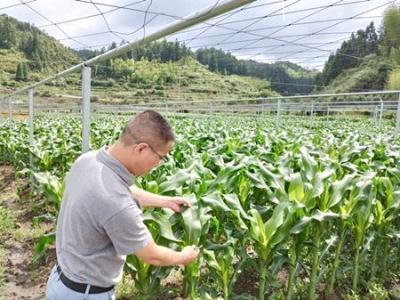蕉城扩大玉米种植面积1600多亩