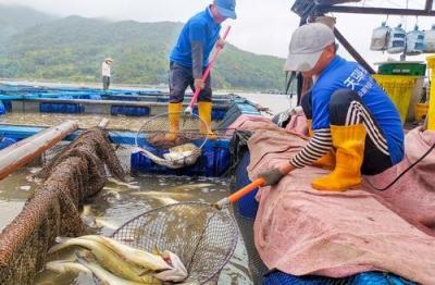 鲜货出水了!福安这里的黄鱼、鲈鱼、海鲫……