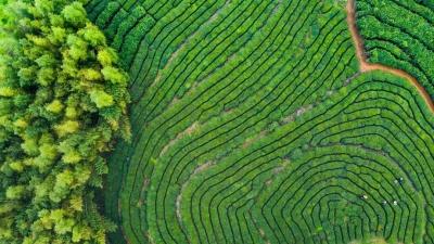 专家齐聚福鼎,为白茶生态茶园建设支招