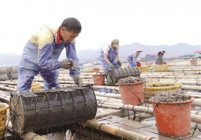 霞浦:海参养殖忙