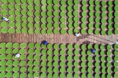 漫山滴翠!柘荣茶产业是这样实现腾飞的——